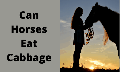 Can Horses Eat Cabbage