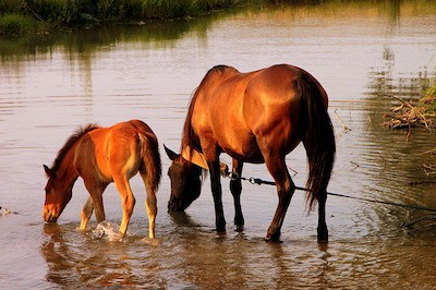 How Long Can A Horse Go Without Water?