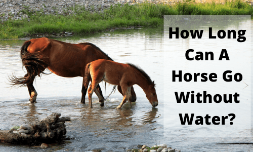 How Long Can A Horse Go Without Water