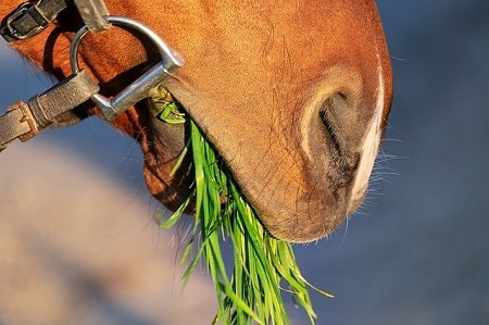 How Long can Horses go without Hay?