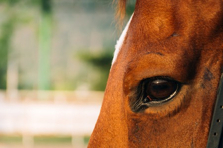Horse Eye Infections and Injuries in Horses