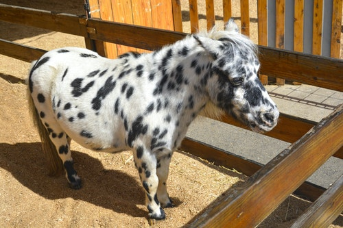 Is A Pony The Same As A Miniature Horse?