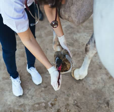 Causes of Degloved Horse Hoof Conditions